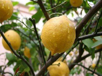 Как вырастить лимон на продажу