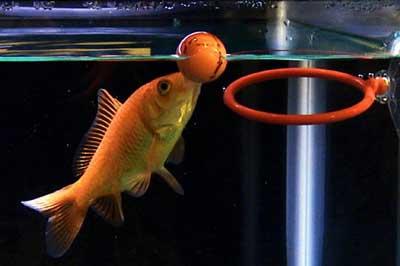 дрессировка аквариумных рыбок