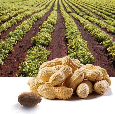 Бизнес идеи - Выкармливание и продажа арахиса