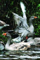 Финансовая оценка производства мяса гусей многообразных гибридов
