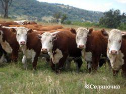Убой большущего рогатого скота