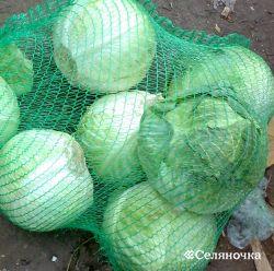 Секреты выкармливания и хранения капусты