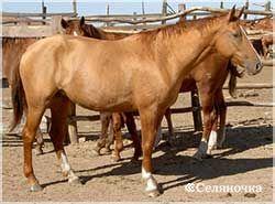 Донская лошадка