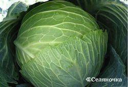 Среднеспелая капуста: урожайная и смачная