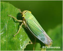 Зеленоватая цикадка