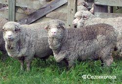 Отбор в овцеводстве
