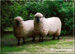 Увеличение эффективности отбора овец