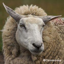 Роль овцеводства в Рф
