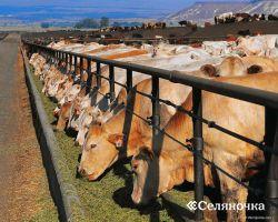 Пути наибольшей интенсификации выкармливания мясного скота