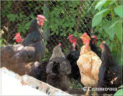 Семейная птицефабрика