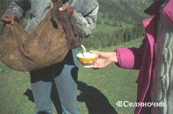 Продуктивность кобыл и разработка приготовления кумыса