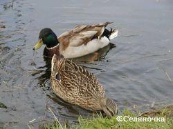 Содержание и питанье водоплавающей птицы