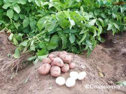Методы роста урожая кортошки