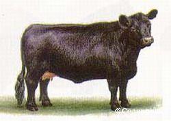 Калмыцкая порода скотин