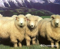 Породы овец