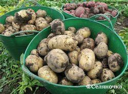 Картофель и мята