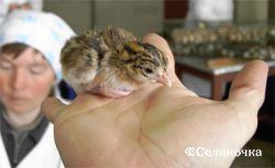 Выкармливание ремонтного молодняка яичных кур