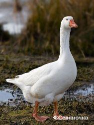 Необыкновенности комплектования родительского стада гусей