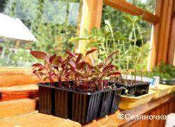 Выкармливание овощей сквозь рассаду и посевом в прямой грунт