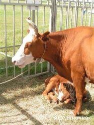 Питание и содержание телят при выращивании под коровами-кормилицами
