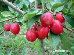 Апробация плодово-ягодных культур