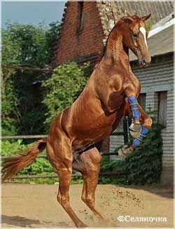 Лошадка буденновской породы