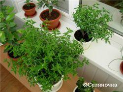 Как вырастить свежайшую зелень в семейных критериях