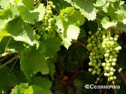 Виноград от  высадки до урожая