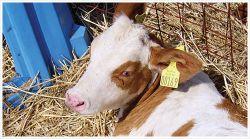 Выкармливание телок в молочный период и на подсосе