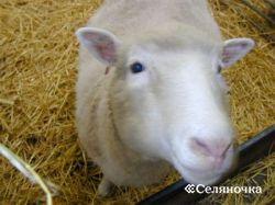 Корпоративные принципы организации проверки баранов по качеству потомства