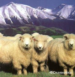 Королевская овца