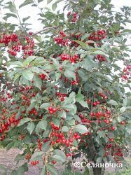 Выбор и подготовка площади для плодового питомника