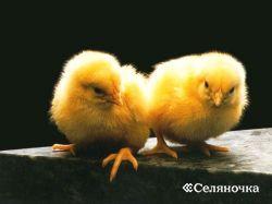 Решение цыплят в инкубаторе