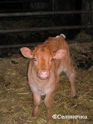 Питание и содержание телят при ручной выпойке молозива и молока с применением личных и групповых поилок