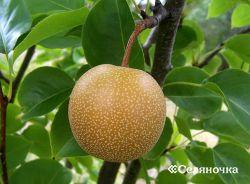 Порядок дизайна апробации плодовых деревьев
