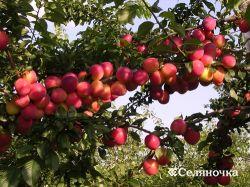Главное поле плодового питомника