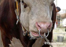 Разбавление и хранение спермы быка