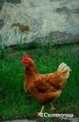 Углеводистые корма в рационе птицы